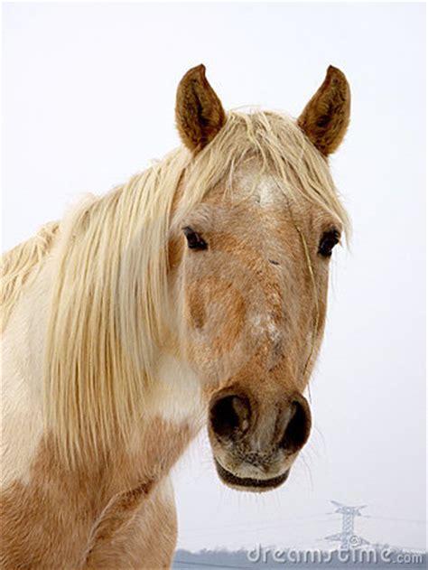 horse face royalty  stock photo image