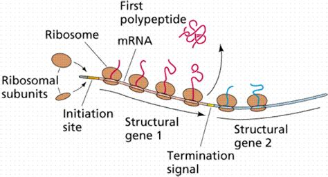 r protein operon gene