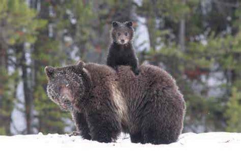 image gallery montana state animal