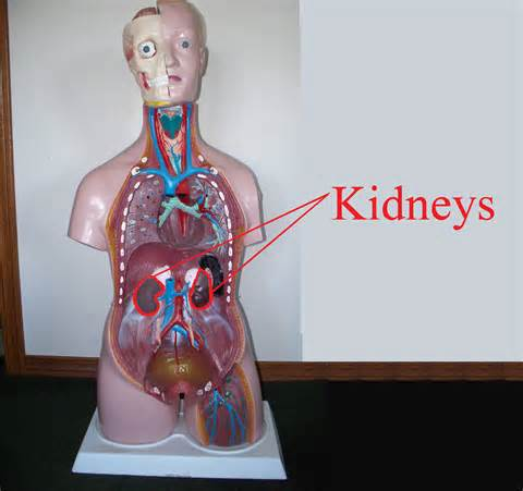 where is my kidney located in my diagram where are the kidneys located itis