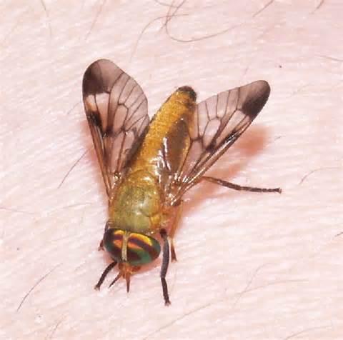 Fly Yellow Yellow Fly Diachlorus Ferrugatus Bugguide Net