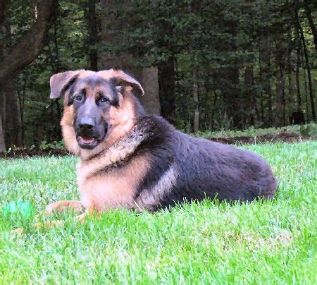 german shepherd rescue va donations needed to fix a beautiful shepherd at virginia gsr