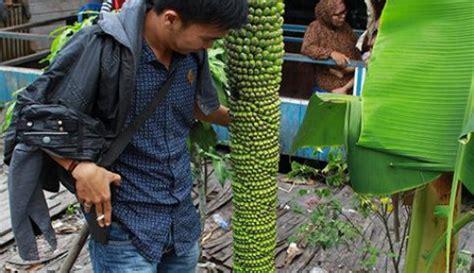 Bibit Pisang Seribu Sisir pohon pisang berbuah seribu curup ekspress