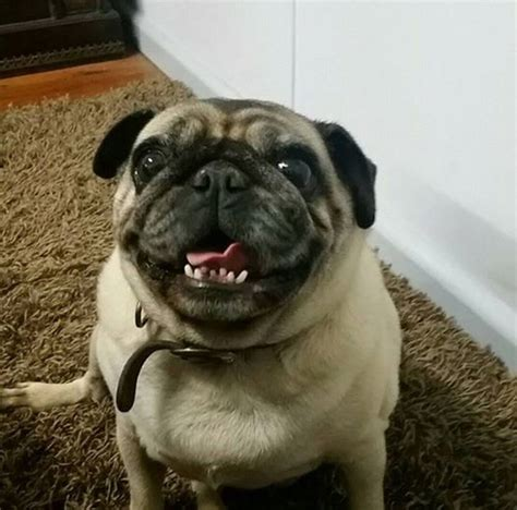 many pugs owner loses pug winds up with pugs