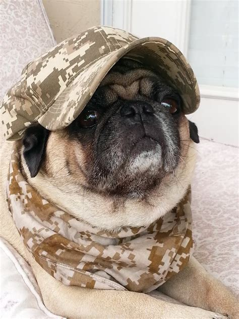 camo pug 17 best images about you so pugly on pug humor pug and pug