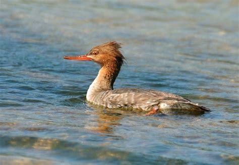 red breasted merganser ducks water birds limpkins cranes