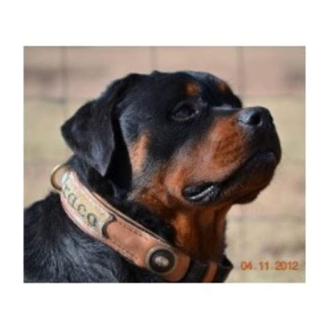 rottweiler rescue ranch rottweiler breeders in arizona freedoglistings