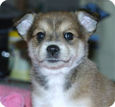 australian shepherd pomeranian mix for adoption mattie adopted puppy santa ca pomeranian australian shepherd mix
