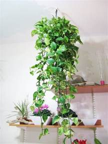 Home Decoration Plants Image Detail For Plants Plants Creepers Home Decorating Ideas With Plants Hanging House