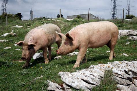 alimentazione maiale maiale alla diossina i controlli e l origine in etichetta 1