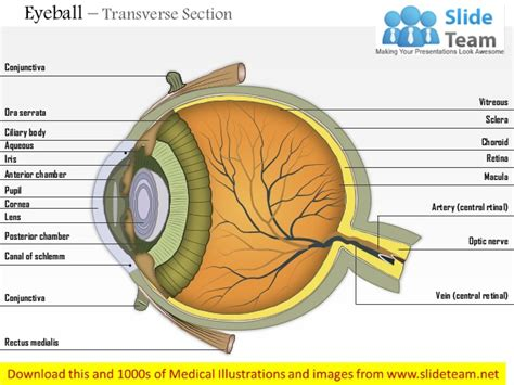 tranverse section eyeball transverse section medical images for power point