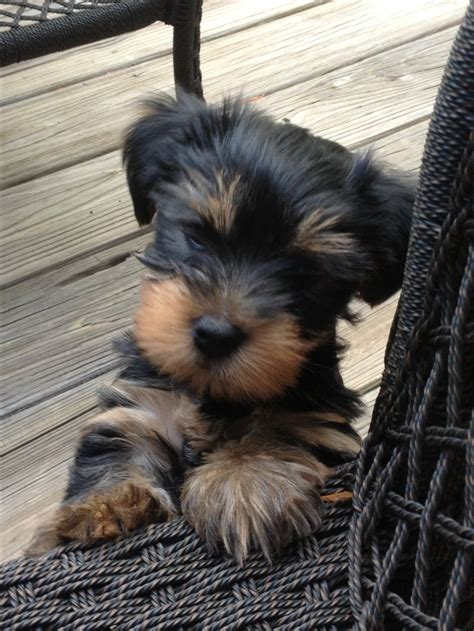 siberian husky yorkie mix 257 best images about baby yorkies and huskys on chihuahuas siberian