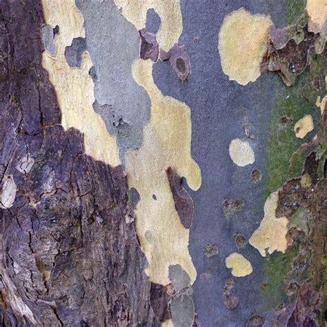 Sycamore Tree Shedding Bark by 365 Beste Afbeeldingen Bark Boomschors Op Bomen Prunus En Platanen