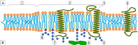 cell membrane cross section a cross section of a modern animal cell plasma membrane