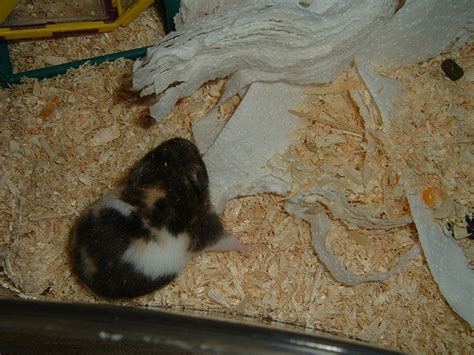 hamster bedding hamster and bedding flickr photo sharing