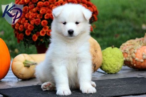 samoyed mix puppies for sale 12 best miki dogsl images on