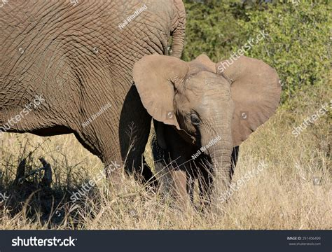 flapping ears baby elephant flapping ears stock photo 291406499