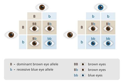 punnett square for eye color what is inheritance science for secondary grades