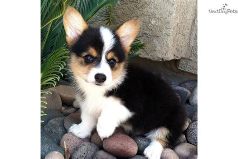 corgi puppies for sale los angeles corgi puppy for sale near los angeles california 2faea533 8191