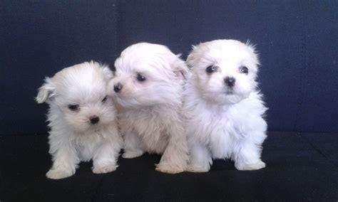 camada perros regalo exclusiva camada bichon maltes bichon maltes