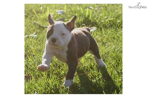 bulldog puppies for sale orange county bulldog puppies for sale orange dogs for sale puppies for sale breeds picture