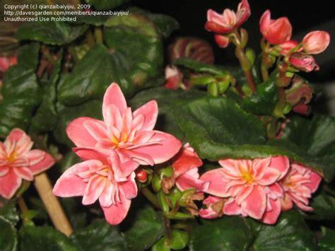 plant identification what types of begonias 1 by qianzaibaiyijiu