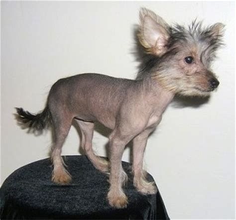 bald yorkie crested yorkie mix breeds picture