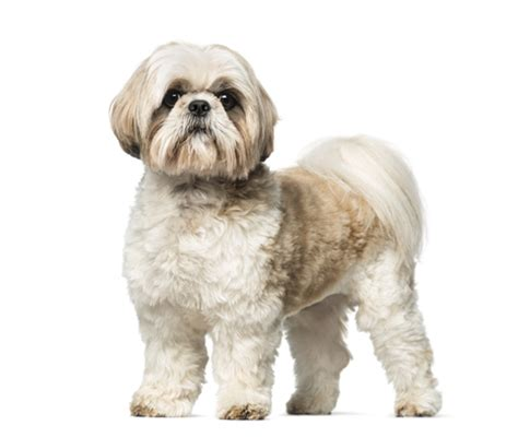 clippers for shih tzu grooming a shih tzu with clippers shihtzu web