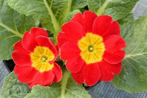 primula fiore primula il primo fiore dell anno lezioni di