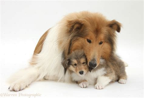 puppy and collie and puppy photo wp38304