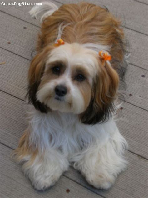 shih tzu weiner dachshund mix with shih tzu www imgkid the image kid has it