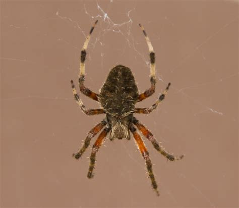 brown patterned spider brown spider with orange and brown legs neoscona