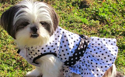 clothes for shih tzu shih tzu clothes for dogs search results dunia photo