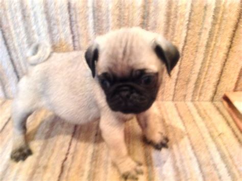 fawn pug puppies fawn pug puppies matlock derbyshire pets4homes