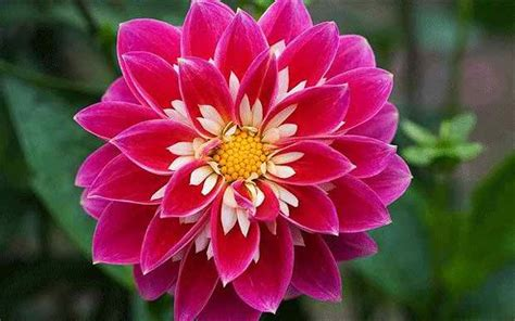 photos of colombia flowers dahlia 20 beautiful flowers ever found in the world