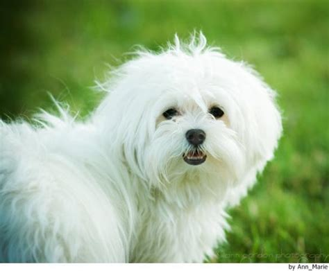maltese dog cottony hair bichon