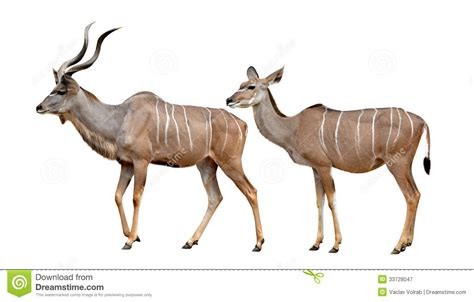 greater kudu royalty  stock photography image