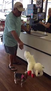 yorkie carries out of store tiny yorkie picks out in store inspiremore