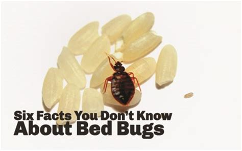 information about bed bugs bed bug facts 6 known facts about bed bugs