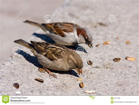 two sparrow eats sunflower seeds stock image image 5311299