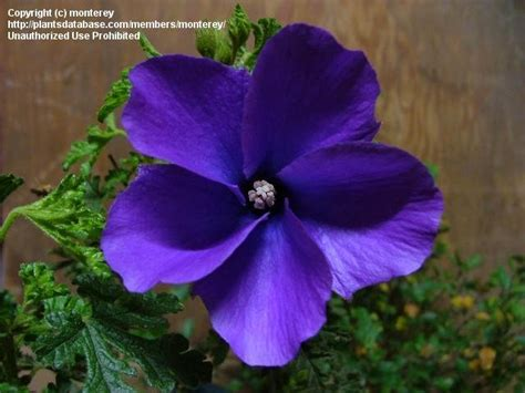 blue and purple hibiscus flower plantfiles pictures blue hibiscus lilac hibiscus purple