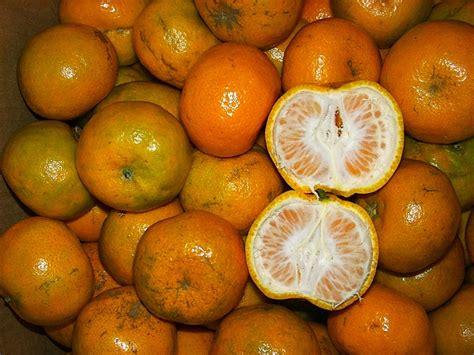 Bibit Jeruk Nipis Malang budidaya tanaman jeruk bapluh kp ogan ilir