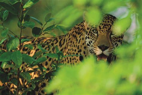 imagenes con jaguar planes para el futuro del jaguar en la amazonia wwf