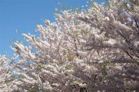 cherry blossom tree zone 9 sacramento landscaping recommended edible plants cherry tree in bloom capital landscape