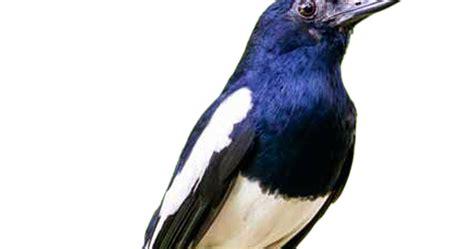 gambar png gambar burung kacer