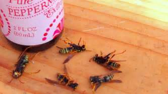 how to get rid of wasps naturally youtube