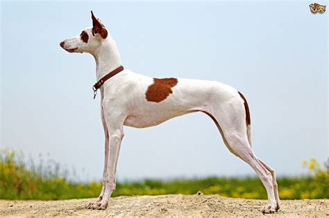 ibizan hound puppies ibizan hound breed information buying advice photos and facts pets4homes