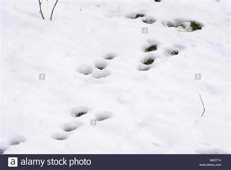 Images Of Rabbit Tracks
