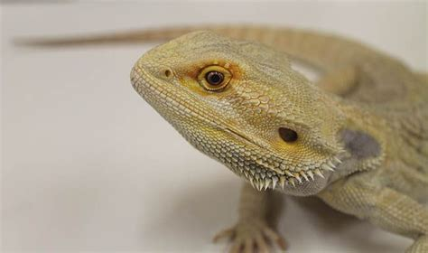 bearded color change a bearded displays its true colors on its neck or