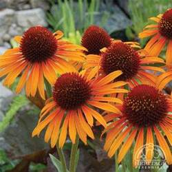 plant profile for echinacea flame thrower hybrid